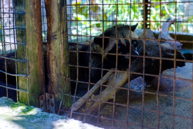 A civet in charge of producing Luwak coffee