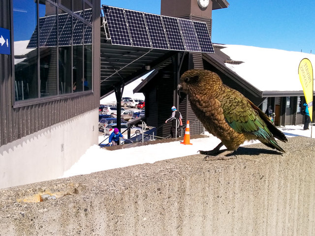 Hungry kea looking for some food