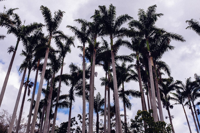A royal palm grove