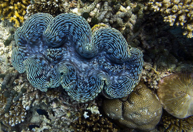 Giant clam wants a kiss