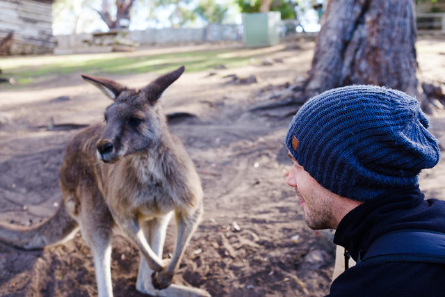 Face to face meeting with a kangaroo mate