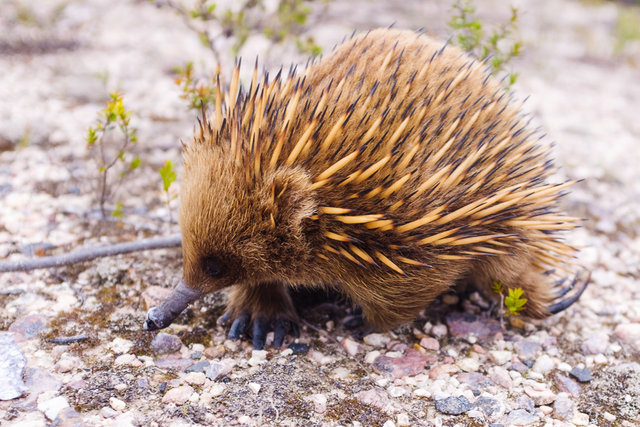 A spiky little creature in pursuit of a lunch