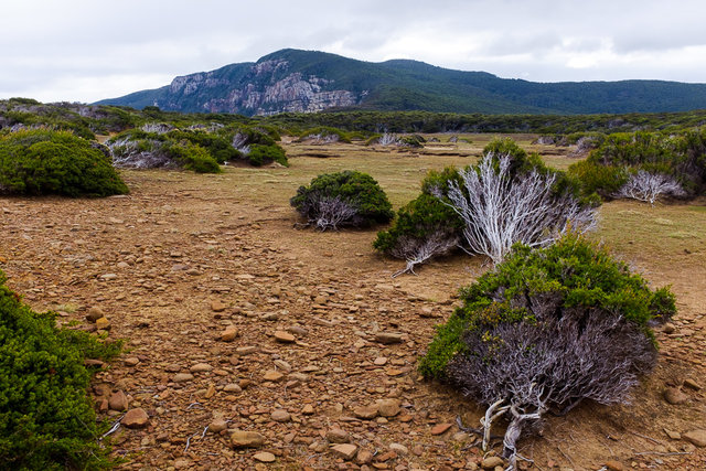 The shrub is bent by some of the strongest recorded winds in Australia