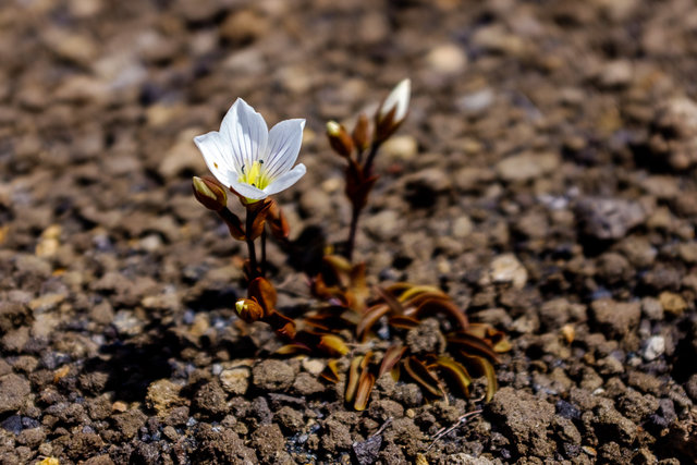 A little pearl in the volcanic desert -- Gentiana bellidifolia