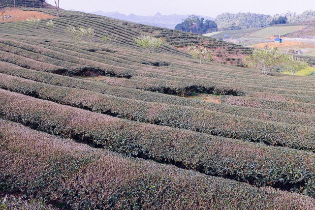 A tea plantation in Moc Chau