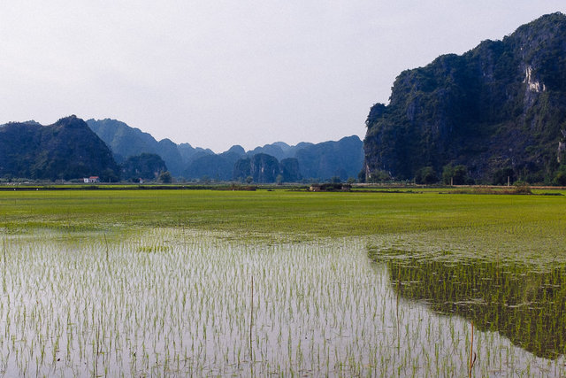 Bright green colour of rice fields
