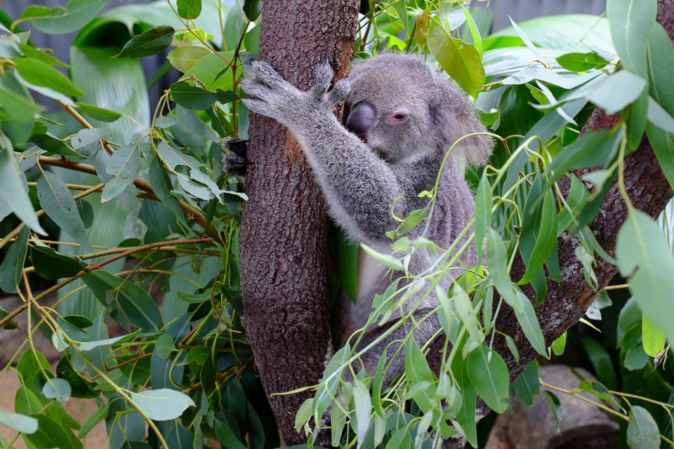 Kuranda and koala cuddles